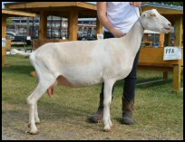 LaMancha milking dairy goat Forrest Pride